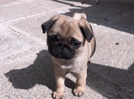 Ready For New Home's Kc Registered Pug Puppies