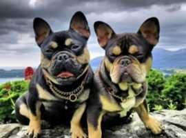 French bulldog studs Northern Ireland