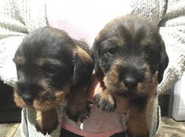 Wirehair Standard Dachshund Pups ( Teckels)