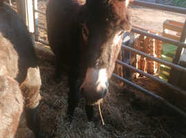 Yearling donkey