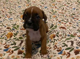 Red bobtail boxer puppies