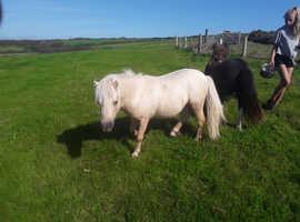 Stunning American miniature  stallion