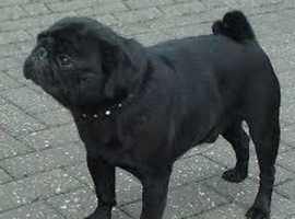 Black pug male KC reg