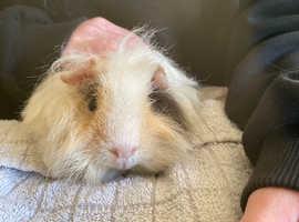 2 Male Merino guinea pigs for sale