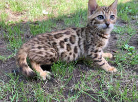 4 TICA Active Registered Bengal Girls For Sale