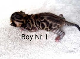 5 beautiful Bengal kittens for sale
