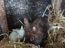 7 Beautiful dwarf lop rabbits ready for their new homes at the end of September