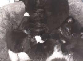 7 black black & white kittens