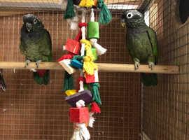Bonded pair Maximilian pionus parrots