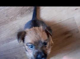 Female jack russell cross border terrier pup