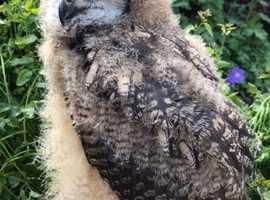 Bengal Eagle owlet