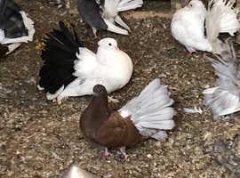 Fantail pigeons various