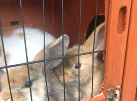 Last two beautiful baby lop eared bunnies looking for loving new homes