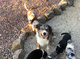Border Collies and 1 Blue Merle Male Dogs