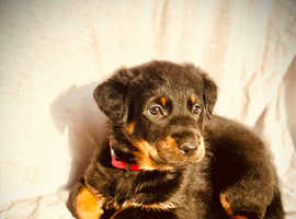 Health tested KC beauceron puppies