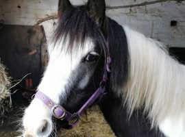 14h cob mare for sale