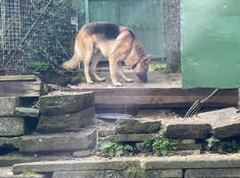 Stunning German Shepard dog