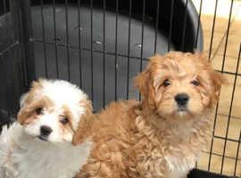 Cavachon Pups for sale. READY NOW