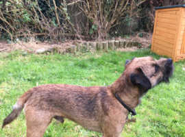 Border terrier 2 years old for stud