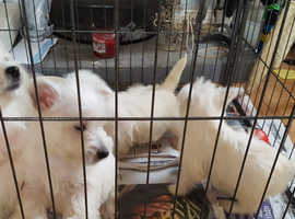 West Highland White Terrier Puppies KC Reg'd READY NOW