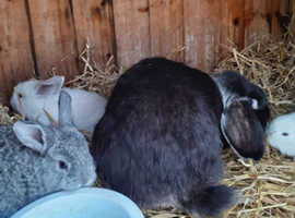 Gorgeous Dwarf Lop Baby Rabbits - vaccinated - RESERVE