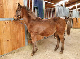 Groove, June 2020 Filly (approx 15hh)