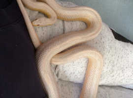 Female corn snake rainbow colours 3 years old