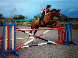 16.1hh 12yro All rounder