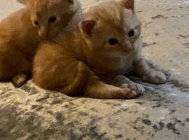 2 x beautiful ginger cats for sale