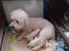Bichone Maltese puppies