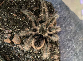 Mexican Red Knee & Curly Hair Tarantula