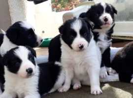 Croft-bred litter of border collie puppies from working parents sire ISDS registered..
