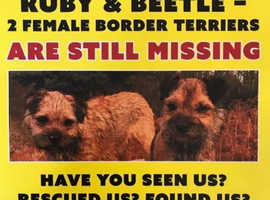 Missing/Stolen Border Terriers, Ruby and Beetle
