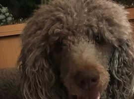 Standard poodle dog for stud only