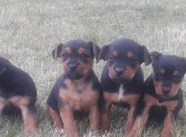 Gorgeous Lakelands Terrier X Pups