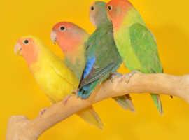Baby Love birds for sale,30