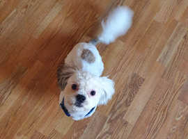 One year old shih tzu male for sale