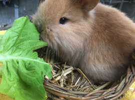 GORGEOUS baby lionheads ready to reserve