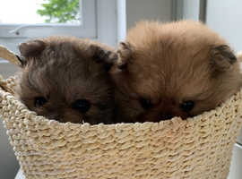 Pomerianian puppies x 3 for sale