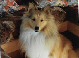 Wanted Shetland Sheepdog