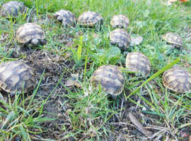 Spur-thighed tortoises