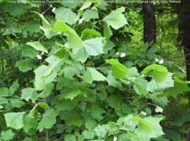 several young sycamore trees for sale great garden lookers or shaders for drives ect !