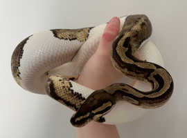 Royal Python Male