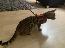 Quality Pedigree Bengal Kittens TICA Reg, Active Registered
