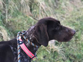 We have a litter of GSP X GWP puppies due MAY
