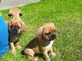 F1 Puggle Pups (Beagle x Pug)