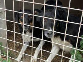 Mixed litter of sheepdog pups