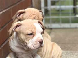 Beautiful American pocket bully puppies