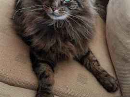 Norwegian Forrest cat Male 9 years old