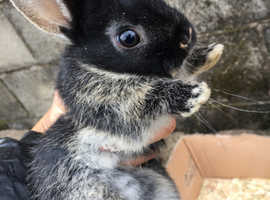 4 female pure bred Netherland dwarfs for sale